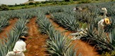 Tequila's History and Culture